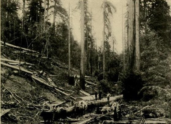 Logging Scene in the Redwoods
